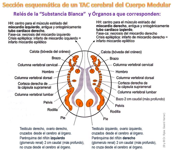 Médula Cerebral