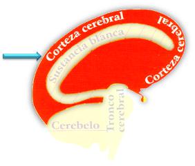Ectodermo - Corteza cerebral